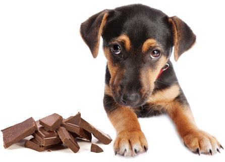 dog-eat-chocolate