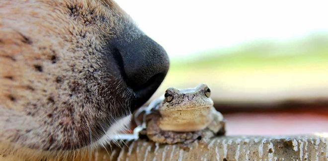 dog-nose-frog-poison-